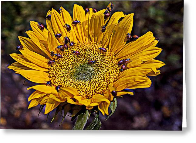 Ladybugs Greeting Cards - Sunflower with ladybugs Greeting Card by Garry Gay