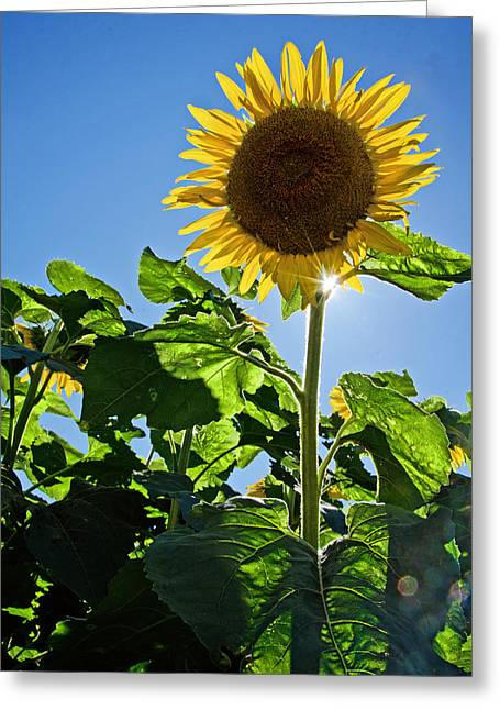 Buttonwood Farm Greeting Cards - Sunflower with Sun Greeting Card by Donna Doherty