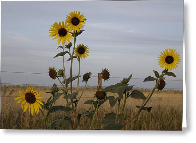 Kansas Pyrography Greeting Cards - Sunflowers and Barbed Wire Greeting Card by Cary Amos