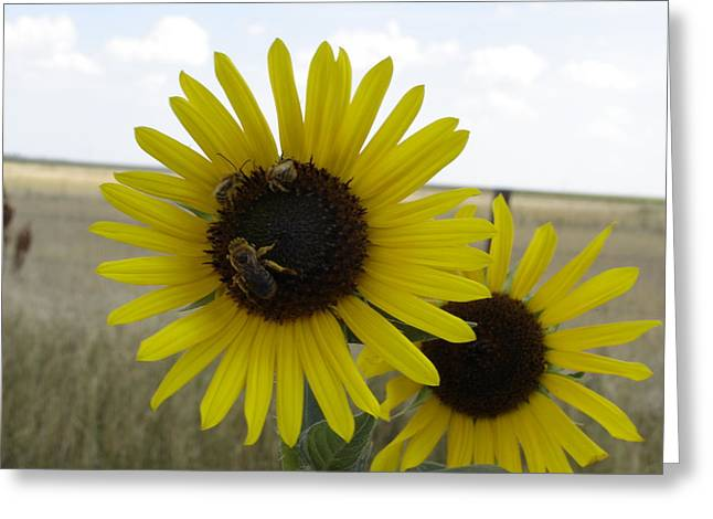 Kansas Pyrography Greeting Cards - Sunflowers and Bees Greeting Card by Cary Amos