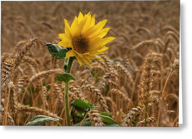 Yellow Sunflower Pyrography Greeting Cards - Sunflowers at Corny Greeting Card by Steffen Gierok