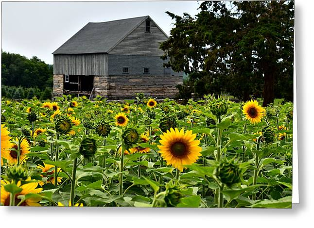 Buttonwood Farm Greeting Cards - Sunflowers Greeting Card by Brian Mooney