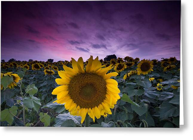 Yellow Sunflower Greeting Cards - Sunflowers Greeting Card by Cale Best