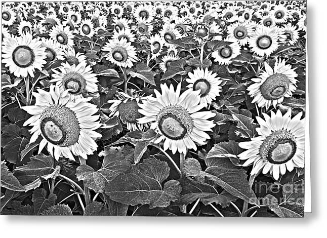 Yellow Sunflower Greeting Cards - Sunflowers Greeting Card by Elena Nosyreva
