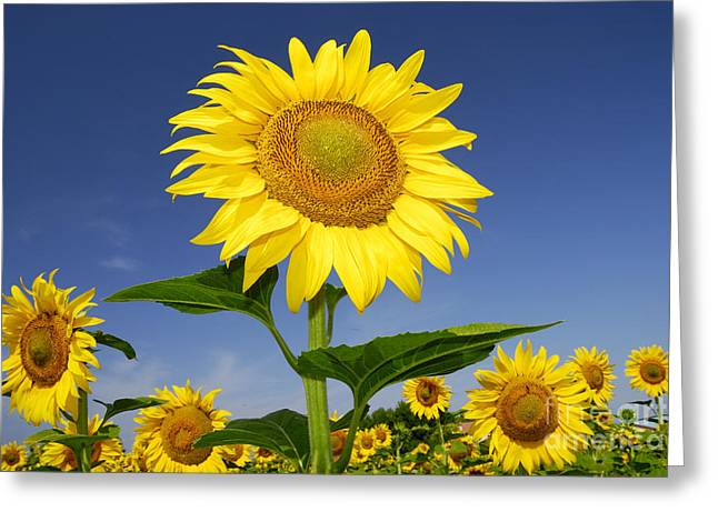 Yellow Sunflower Pyrography Greeting Cards - Sunflowers field in summertime Greeting Card by Paolo Cacciapaglia