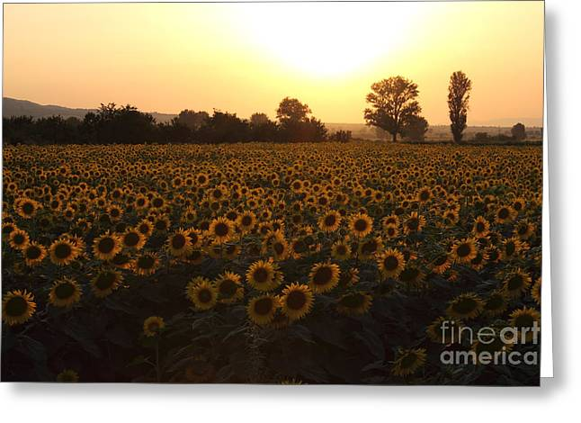 Yellow Sunflower Greeting Cards - Sunflowers field on Sunset Greeting Card by Kiril Stanchev