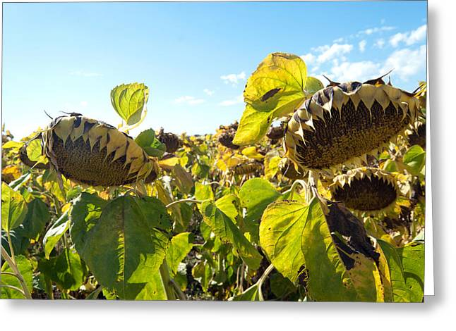 Ripe Pyrography Greeting Cards - Sunflowers for harvest Greeting Card by Svetoslav Radkov