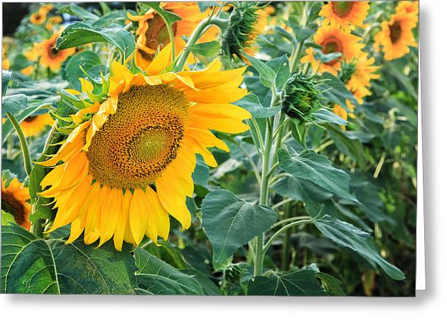 Evening Lights Greeting Cards - Sunflowers For Wishes Greeting Card by Bill  Wakeley