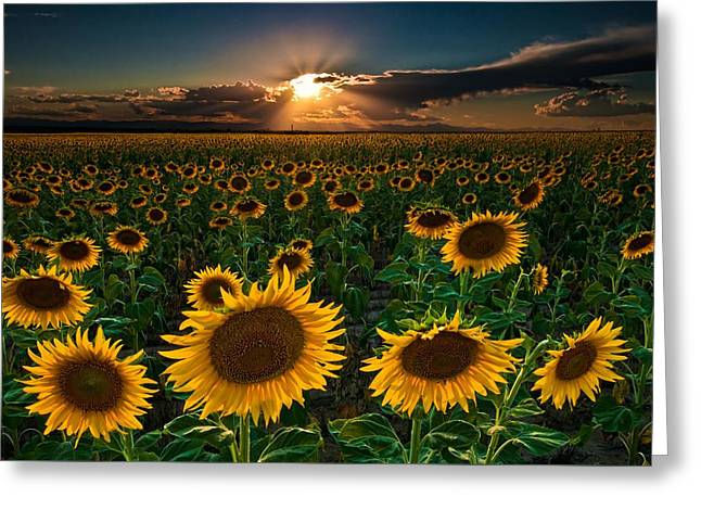 Colorado Captures Greeting Cards - Sunflowers Forever Greeting Card by Mike Berenson