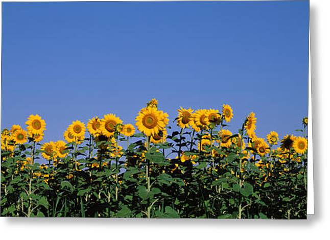 Sunflowers In A Field, Marion County Greeting Card by Panoramic Images