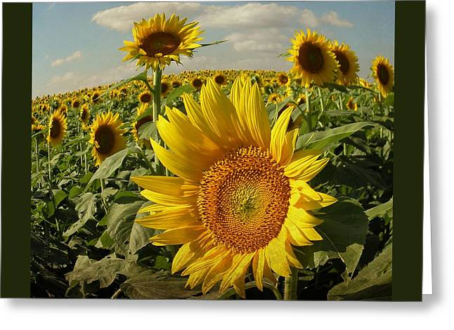 Midwest Artist Greeting Cards - Sunflowers in August Greeting Card by Chris Berry