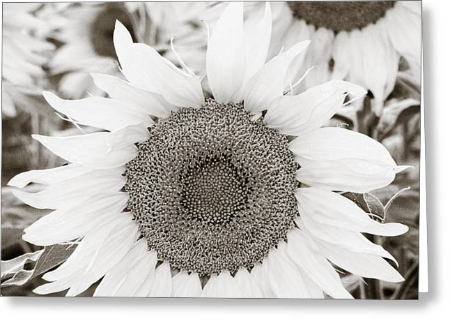 Sunflowers in Back and White Greeting Card by Marilyn Hunt
