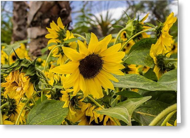 Recently Sold -  - Yellow Sunflower Greeting Cards - Sunflowers In Bloom Greeting Card by Martin Newman