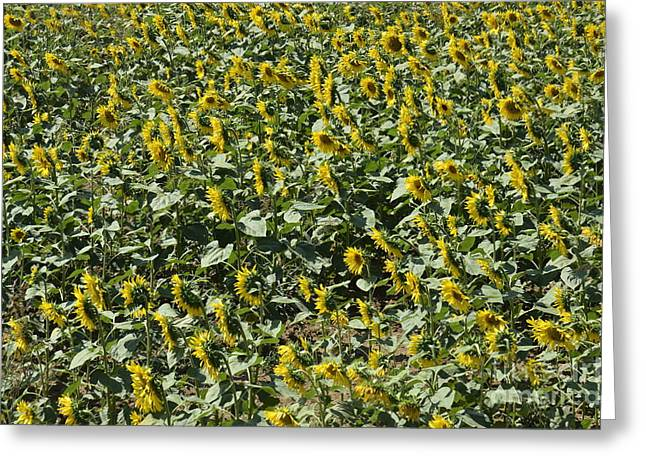 Cultivation Greeting Cards - Sunflowers in Chianti Greeting Card by Sami Sarkis