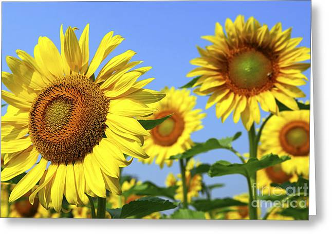 Yellow Sunflower Greeting Cards - Sunflowers in field Greeting Card by Elena Elisseeva