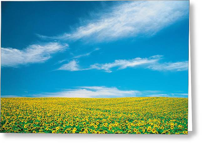 Peaceful Scene Photographs Greeting Cards - Sunflowers In Field Greeting Card by Panoramic Images
