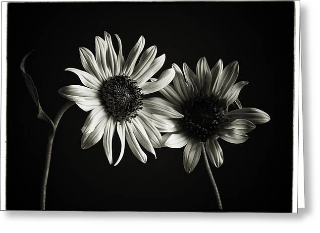 Olympus Greeting Cards - Sunflowers in Soft Light Greeting Card by Jesse Castellano