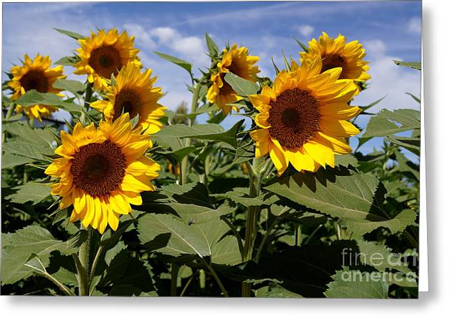 Sunflowers Greeting Card by Kerri Mortenson