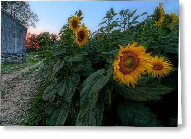 Griswold Connecticut Greeting Cards - Sunflowers Of Buttonwood Farm Greeting Card by Andrea Galiffi