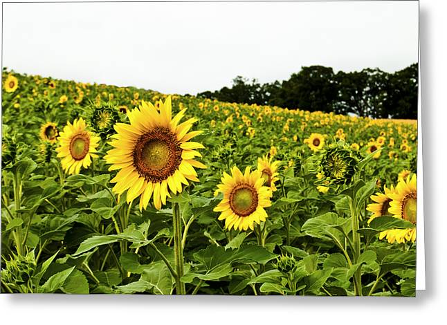 Featured Art Greeting Cards - Sunflowers on a Hill Greeting Card by Christi Kraft