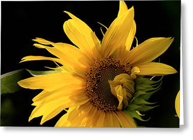 Digitally Enhanced Greeting Cards - Sunflowers Greeting Card by Panoramic Images