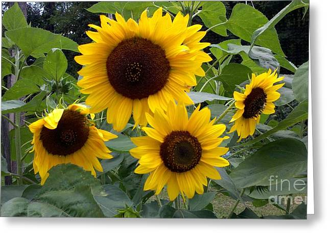 Polly Anna Greeting Cards - Sunflowers Greeting Card by Polly Anna