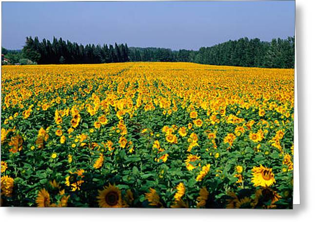 Cultivation Greeting Cards - Sunflowers St Remy De Provence Provence Greeting Card by Panoramic Images