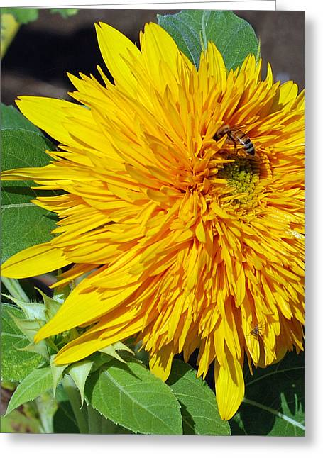 Sun Flower Greeting Cards - Sungold Sunflower Greeting Card by Lisa  Phillips