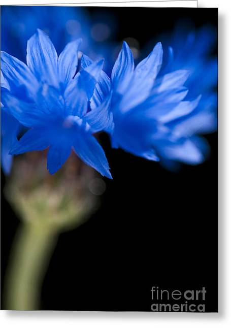 Anne Gilbert Greeting Cards - Sunkissed Cornflower Greeting Card by Anne Gilbert