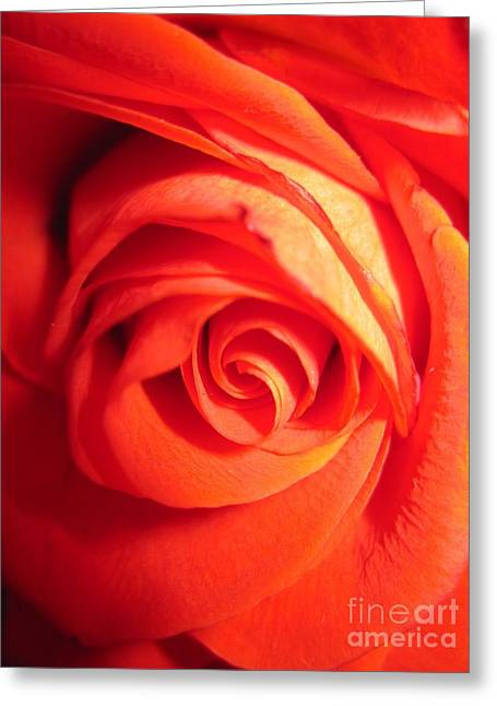 Texture Floral Drawings Greeting Cards - Sunkissed Orange Rose 11 Greeting Card by Tara  Shalton