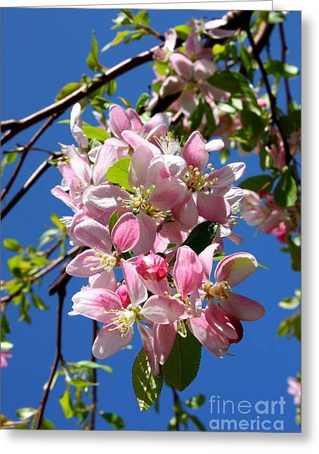 Pink Blossoms Greeting Cards - Sunlight on Spring Blossoms Greeting Card by Carol Groenen