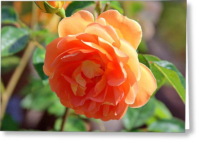 Sunlight On Flowers Greeting Cards - Sunlight on the Peach Flower Petals Greeting Card by Dana Moos