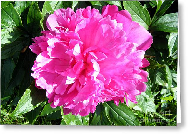 Sunlight On Flowers Greeting Cards - Sunlight on the Peony Greeting Card by Barbara Griffin