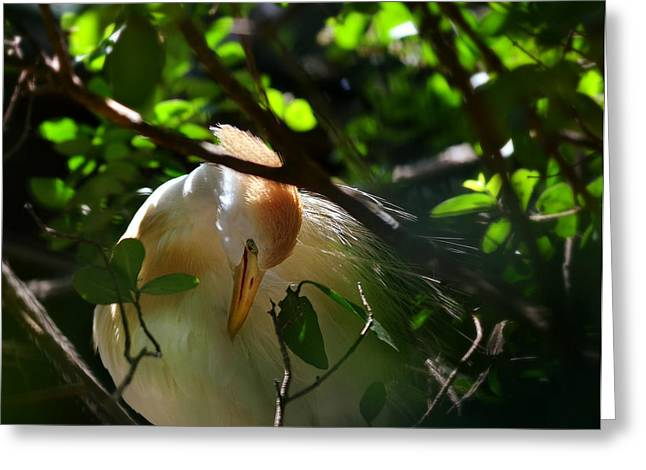 Sunlit Egret Greeting Card by Laura Fasulo