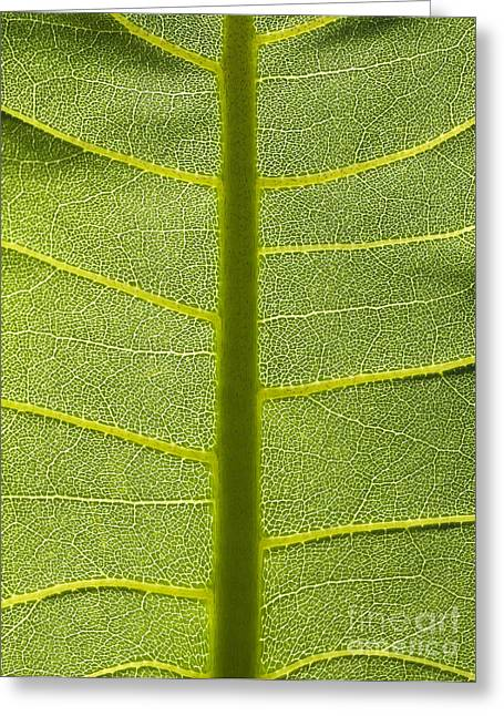 Backlit Prints Greeting Cards - Sunlit Green Leaf Background Greeting Card by Brandon Alms