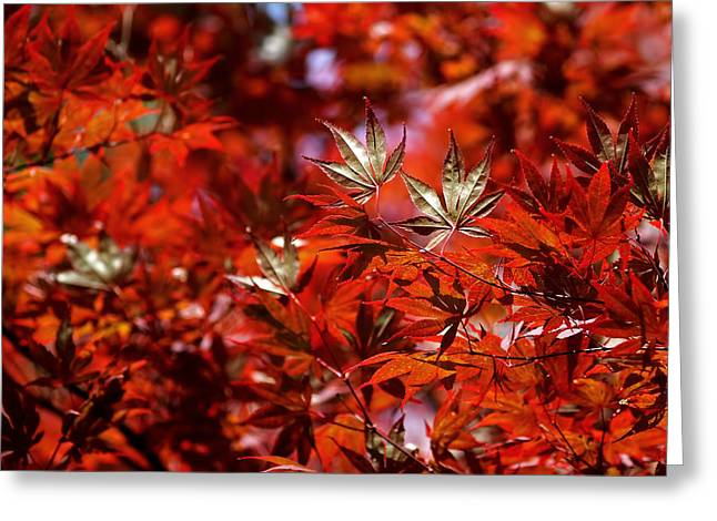 Tree Abstract Greeting Cards - Sunlit Japanese Maple Greeting Card by Rona Black
