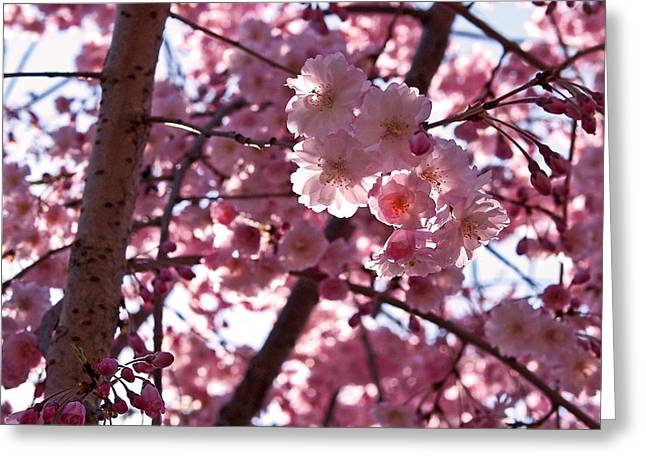 Tree Photographs Greeting Cards - Sunlit Pink Blossoms Greeting Card by Rona Black