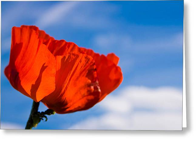 Nature Study Greeting Cards - Sunlit Poppy Greeting Card by Adam Romanowicz