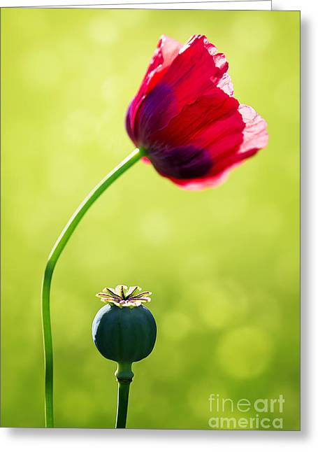 Nature Study Digital Greeting Cards - Sunlit Poppy Greeting Card by Natalie Kinnear
