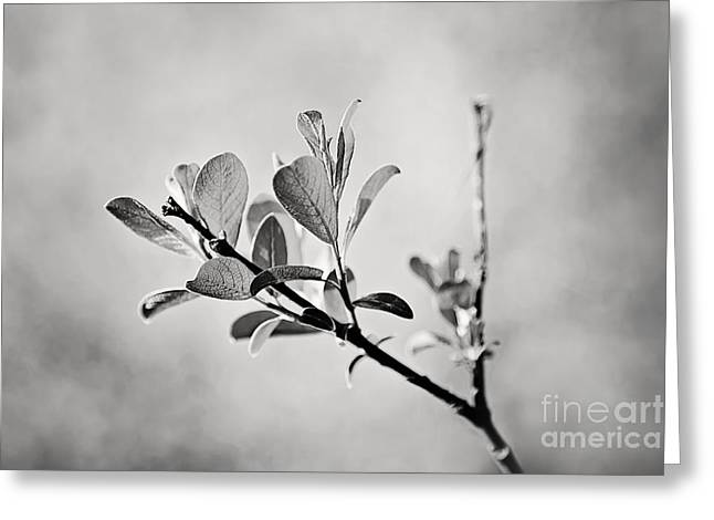 Sunlit Sprig of Leaves in Black and White Greeting Card by Natalie Kinnear