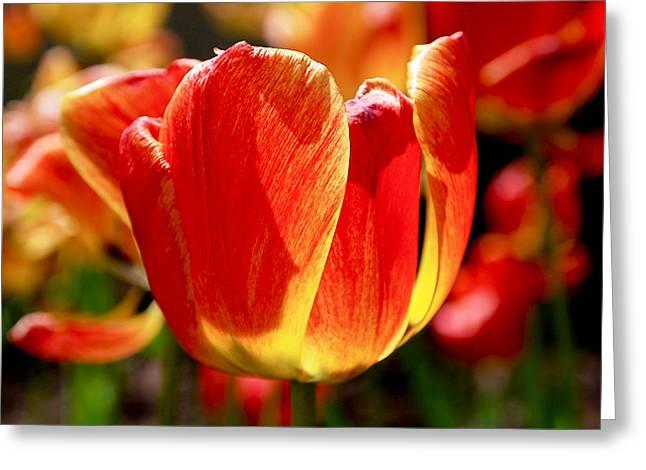 Red Floral Greeting Cards - Sunlit Tulips Greeting Card by Rona Black