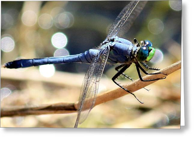 Odonata Greeting Cards - Sunning Blue Dragonfly Square Greeting Card by Carol Groenen