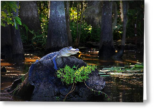 Louisiana Alligator Greeting Cards - Sunning in the Louisiana Swamp Greeting Card by Mountain Dreams
