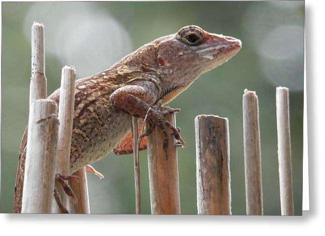 Bamboo Fence Greeting Cards - Sunning Lizard Greeting Card by Belinda Lee