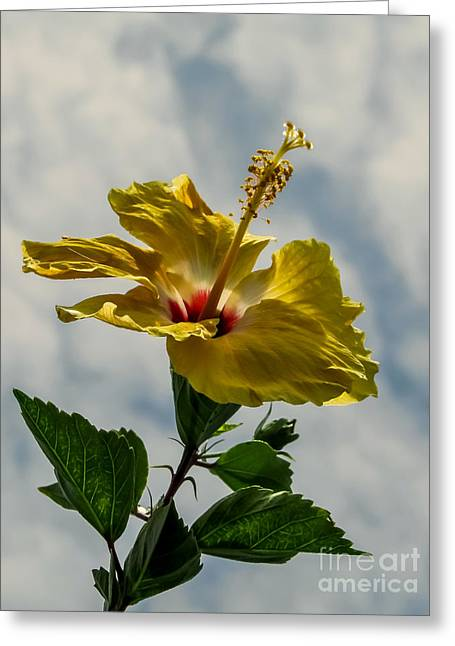 Plant Greeting Cards - Sunny hibiscus  Greeting Card by Zina Stromberg