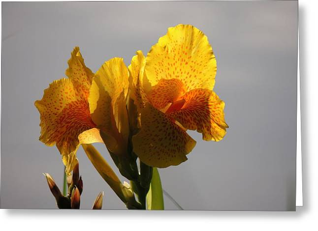 Sunny Lily Greeting Card by Teresa Schomig