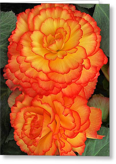 Begonia Garden Greeting Cards - Sunny Side Up - Begonia Greeting Card by Gill Billington