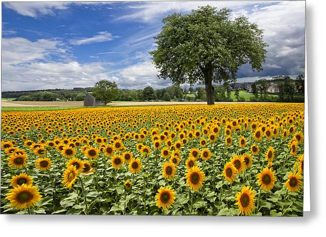 Swiss Photographs Greeting Cards - Sunny Sunflowers Greeting Card by Debra and Dave Vanderlaan