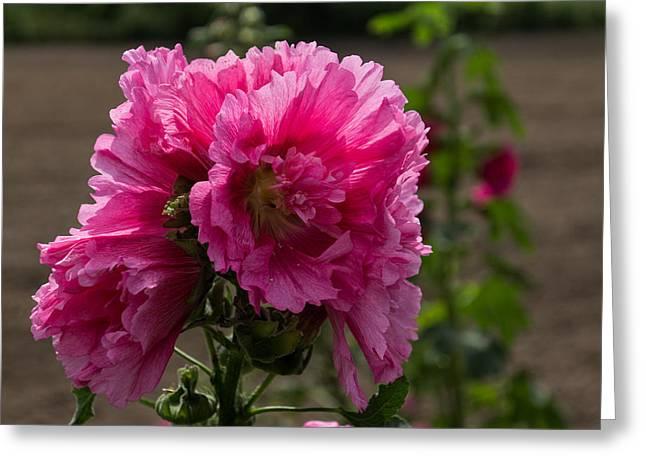 Alcea Rosea Greeting Cards - Sunny Vivid Pink Hollyhocks in a Cottage Garden Greeting Card by Georgia Mizuleva