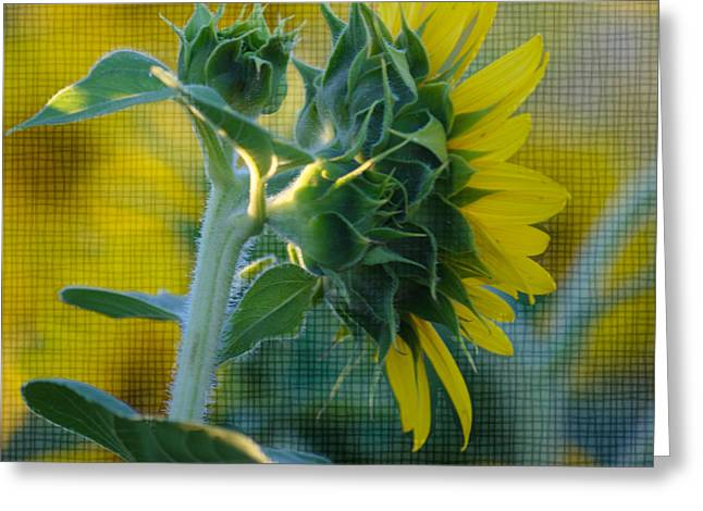 Sunflower Patch Greeting Cards - Sunny with texture Greeting Card by Rima Biswas